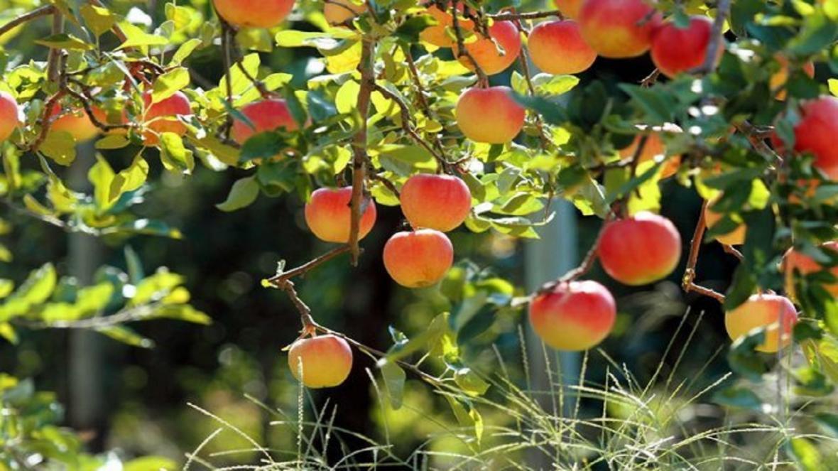 فراوری 643 هزار تن محصولات باغی در استان قزوین