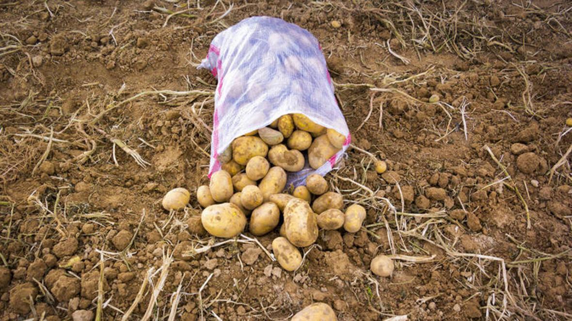 پیش بینی برداشت 240 هزار تن سیب زمینی در اقلید