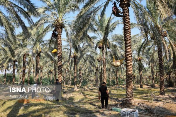 بافق شهر دستبافته های خرمایی ایران می شود
